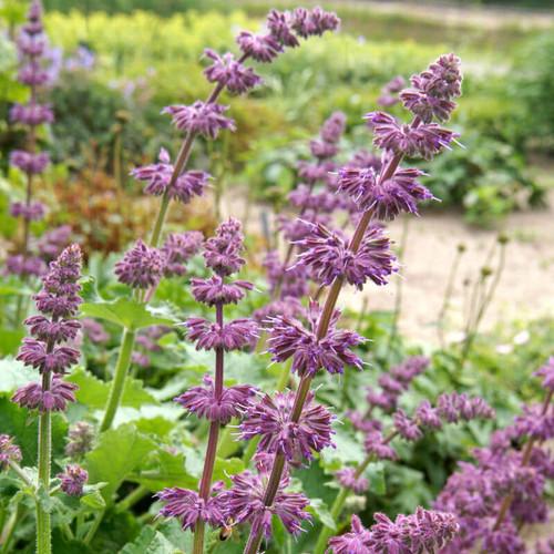 Salvia Verticillata 'Purple Rain'