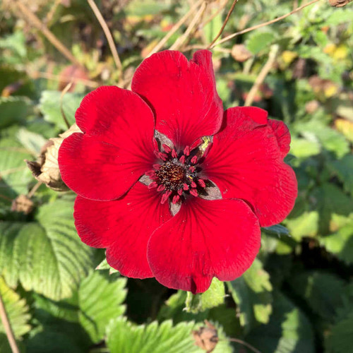Potentilla Red Giant