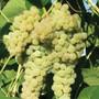 Grape Vine White Dream