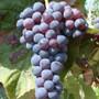 Grape Vine Blue Dream