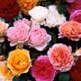 David Austin Perfumed Roses