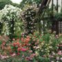 Greenacres Sulphur Rose