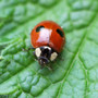 Mr Middleton's Ladybirds