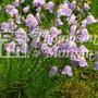 Wild Flower Harebell
