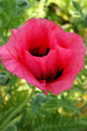 Papaver Orientale Raspberry Queen