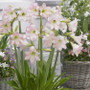Amaryllis Sonatinii Pink Rascal