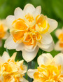 NARCISSUS PEACH COBBLER
