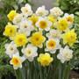60 Days of Daffodils