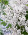 Syringa Flowerfesta White