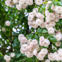 Rose Félicité et Perpétue