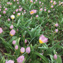 Tulip 'Saxatilis'