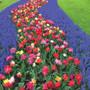 Tulip river of magic