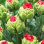 Tulip Bull's Eye