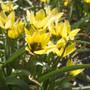 Tulip Lucca