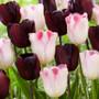 Tulip Rhythm of the Night