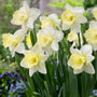 Narcissi Lemon Glow