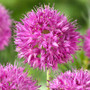 Allium Rosy Dreams