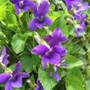 Sweet Violet Wildflower ( Viola odorata )