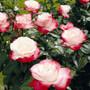 Rose Nostalgie®