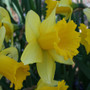 Narcissi January Gold