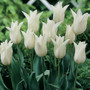 Tulip White elegance
