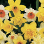 Fragrant Narcissus