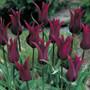 Tulip Burgundy