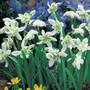 Double Snowdrops (Flore Pleno)