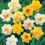 Double Flower Narcissi