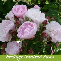 Heritage Scented Roses