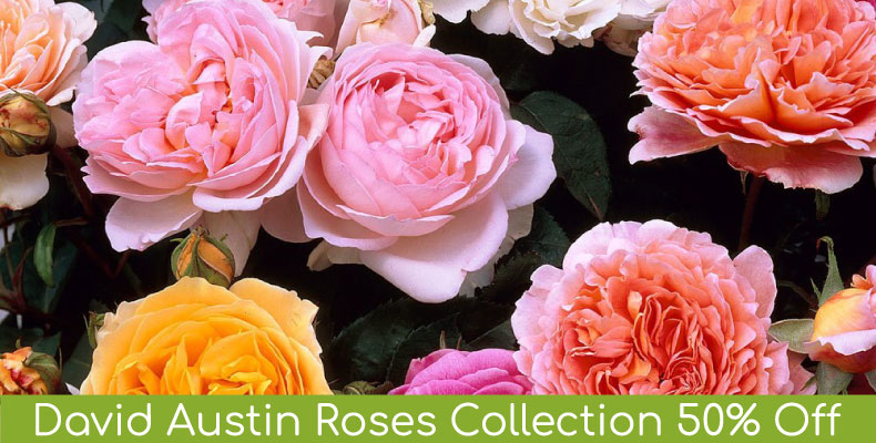 David Austin Collection