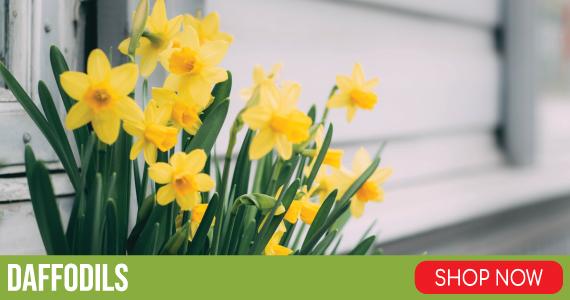 daffodil bulbs flower