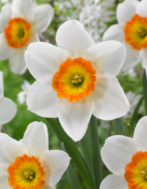 narcissi bulbs flower