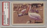 1957 PREMIERE BIRDS..WHITE PELICAN  PSA 8 NM-MT  #*