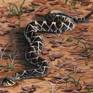 Diamondback Rattlesnake Information, Facts, Photos, and