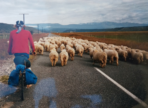 newzealand-sheep-mick-bicycletour1.jpg