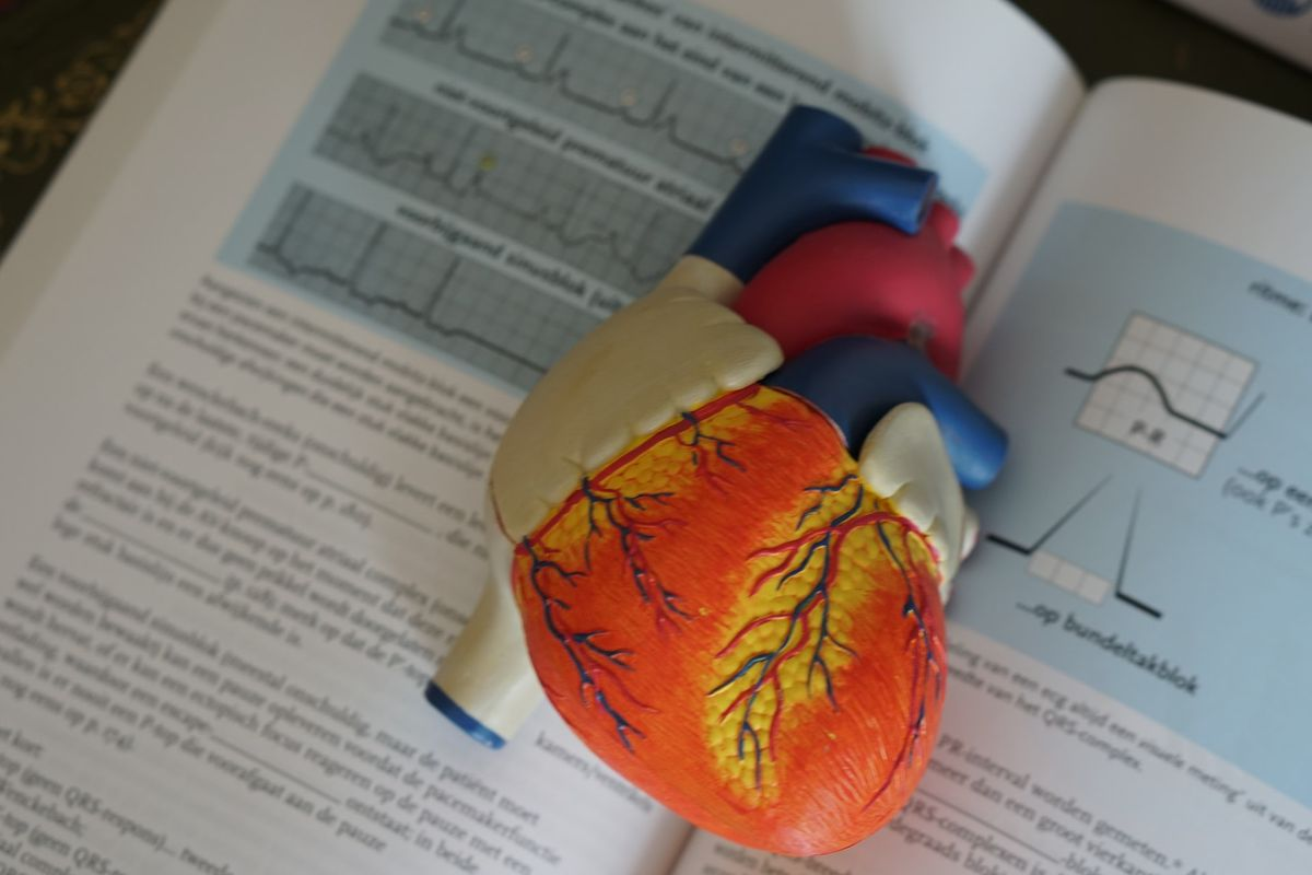 Heart model used by doctors to explain ways to improve circulation