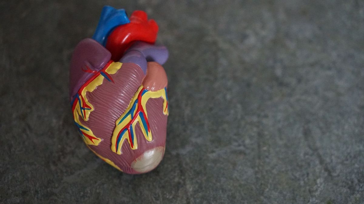 Model of a human heart that works harder without what compression garments can do