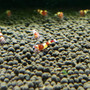Red Wine/Red Panda Shrimp (10 pack with free shipping)