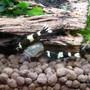 Black panda shrimp.