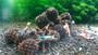 Large Alder Cones in Shrimp Tank