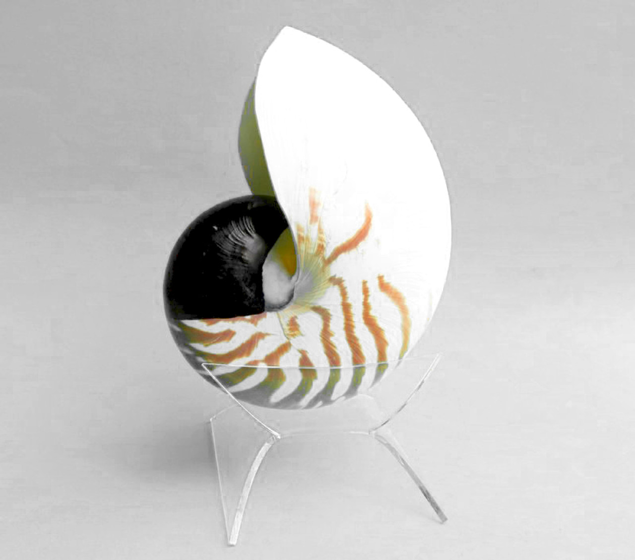 """7/"""" Shells Nautilus Shell Display Stands Holds 5/"""" 6 Pack"""