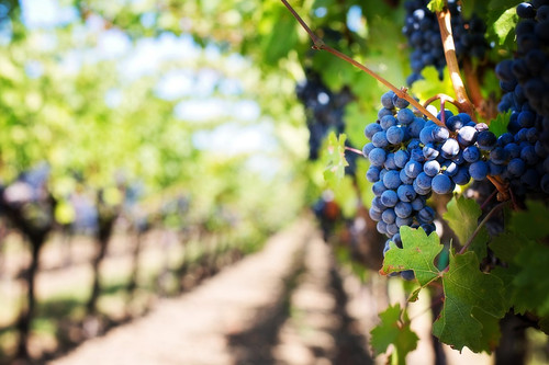 sunny purple grape vineyard