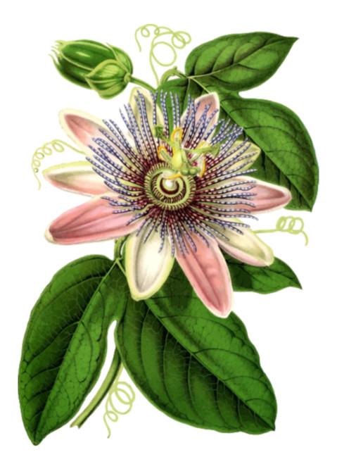 Passion Flower Digital Art Download