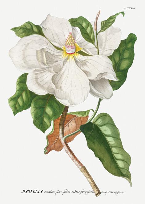 Magnolia Vintage Illustration Digital Download