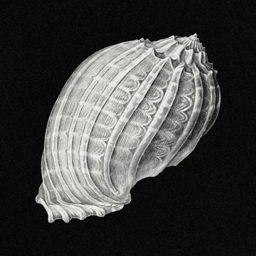 Vintage Shell Marine Life Illustration Digital Art Download 2