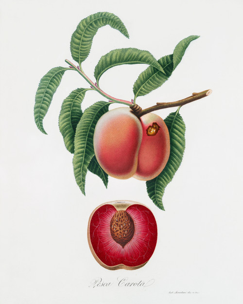 Carrot Peach Vintage Digital Art Download