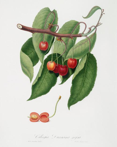 Cherry Cerasus Vintage Digital Art Download