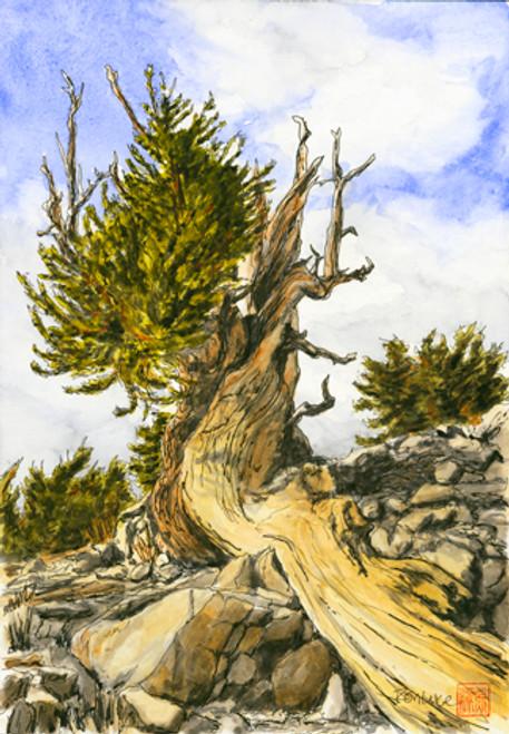 Bristle Cone Pine #3