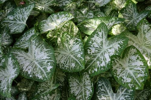 White Cap caladiums close up